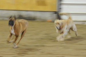 Dec 7-15 dogs 011